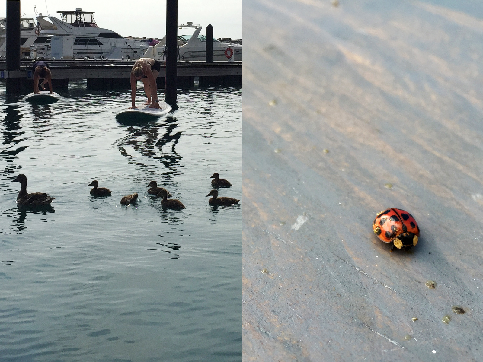 ducks and lady bug 31st St harbor
